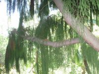 Autralian Tree (200x150)
