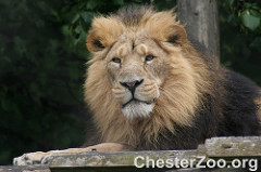 African Lion, Leo