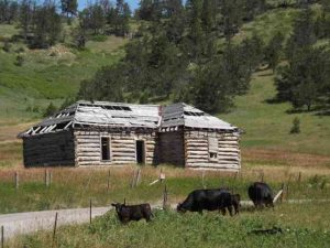 Cabin and cows